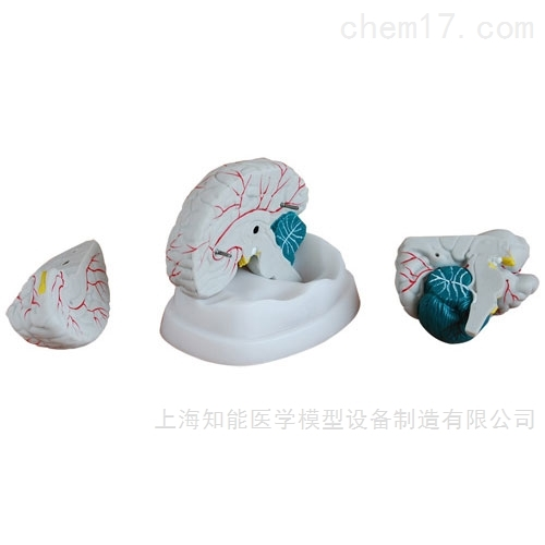 大脑解剖模型