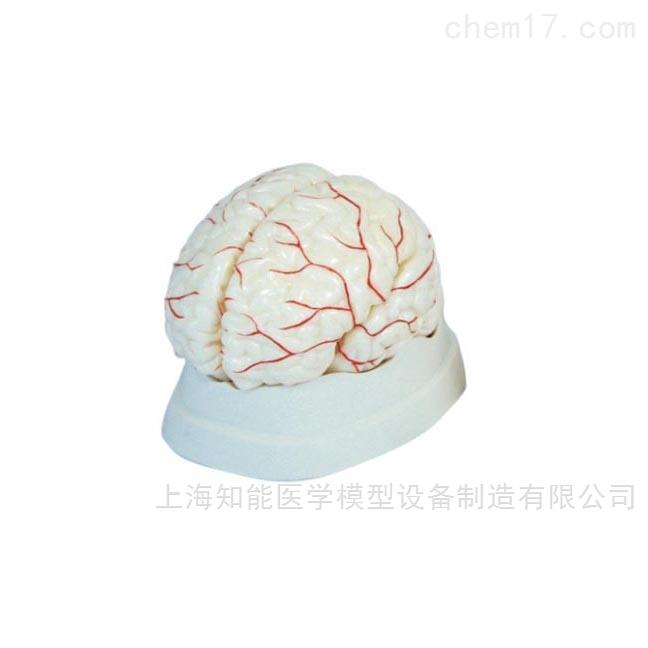 脑动脉解剖模型