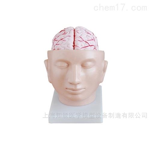 头部附脑动脉解剖模型