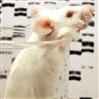 酒精性肝损伤动物模型构建