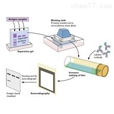 Western blot蛋白技术服务