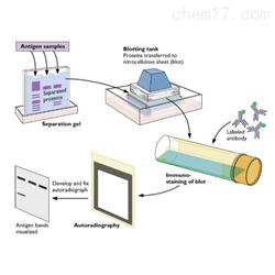 WB蛋白技术服务