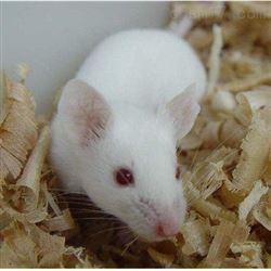 大鼠血壓測量動物實驗