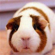 豚鼠造模实验服务